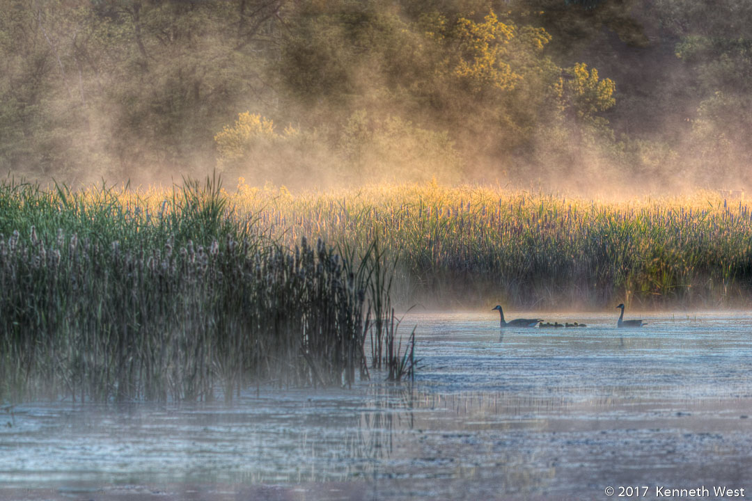 Wetland Mist - SP-021-S - Family of geese out for a morning paddle in the wetland. Standard 2 x 3 Proportion
