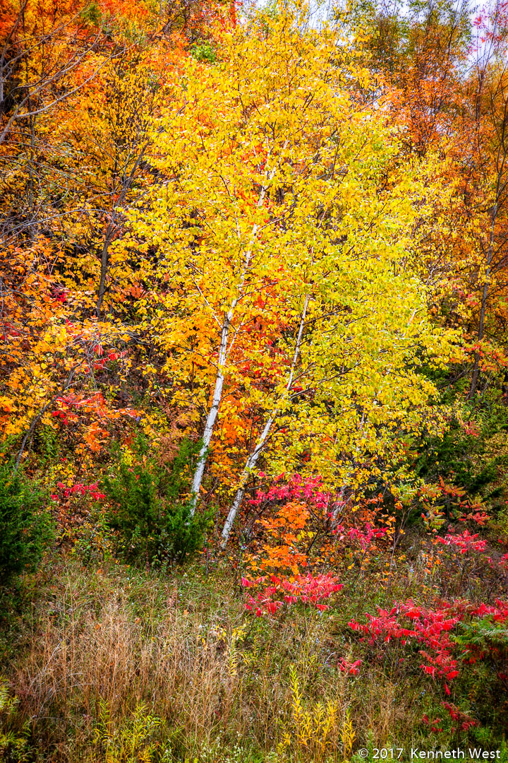 Color of Autumn - FA-121010-S - I photographed this beautiful tree on the side of a steep hill in the Driftless Area of NE Iowa - Standard 2 x 3 Proportion